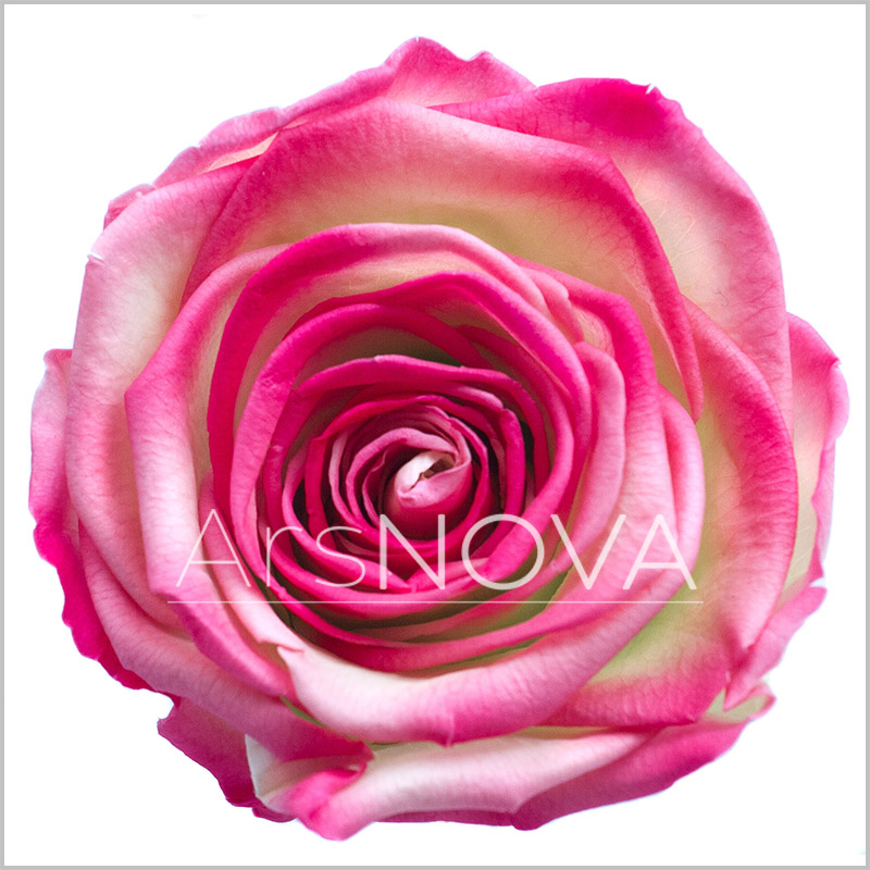 Ars Nova Rose Green Red
