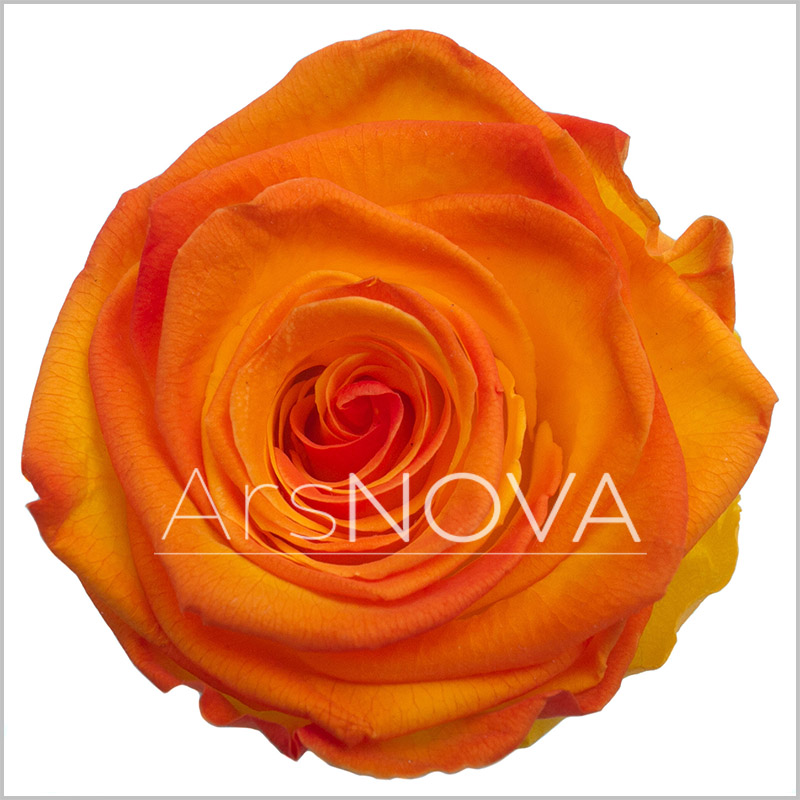 Ars Nova Rose Orange Red