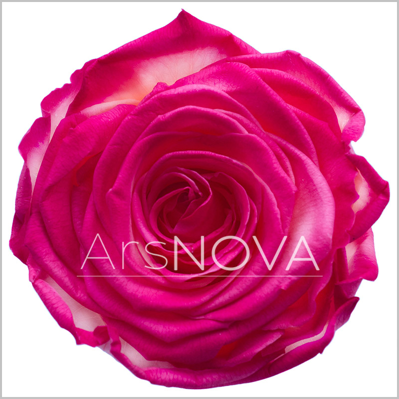 Ars Nova Rose Peach Burgundy